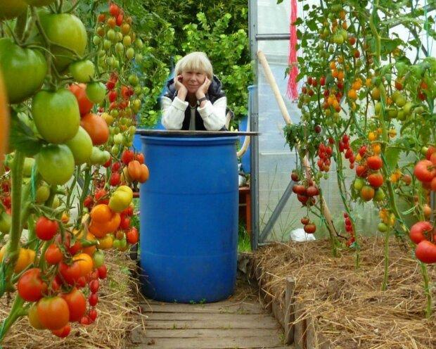 """Způsob výsadby rajčat s kvasinkami: """"každý rok sklízíme plné vědra"""""""