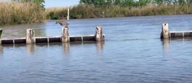 Rys zapůsobil na lidi svým mocným skokem přes přehradu