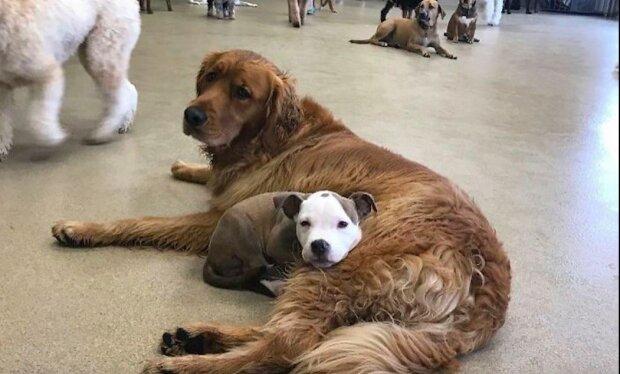 Toto štěně má jedinečný dar: všichni psi souhlasí s tím, že budou jeho polštářem