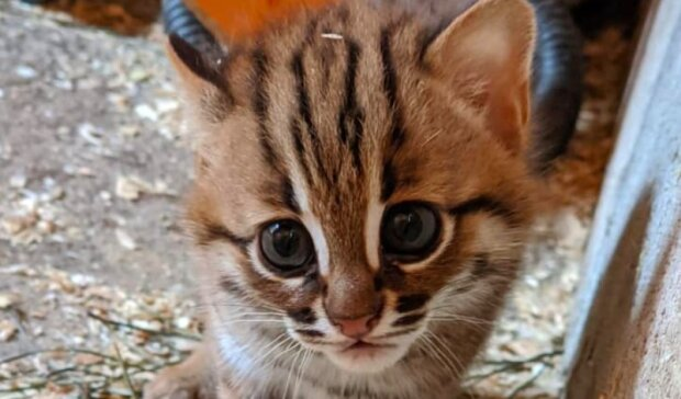 Zrodila se dvojice nejvzácnějších koťat na světě