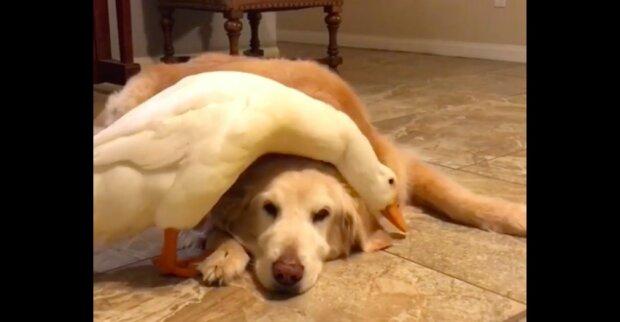 V zábavném videu velmi žárlivá kachna zabraňuje paní hladit psa