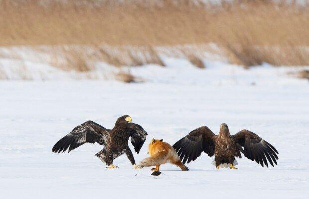 """""""To je můj oběd"""": fotografovi se podařilo zachytit snímek boje mezi liškou a orly o jídlo"""