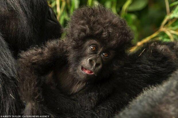 """""""Posed, jak mohl"""": čočka zasáhla gorilí mládě s neobvyklým účesem"""