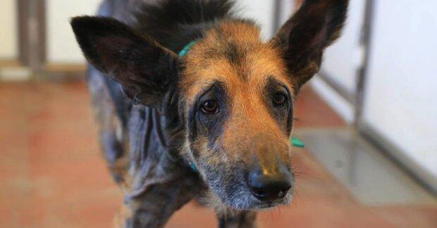 Pes bez domova se dostal k dobrovolníkům ve zlém stavu, rychle se ale ukázalo, jak hezký pes se v něm skrývá
