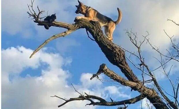 Ovčák se honil za kočkou a uvízl na stromě: museli přivolat záchranáře