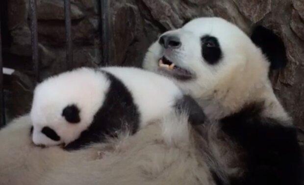 Okouzlující video: maminka-panda ukolébá její mládě