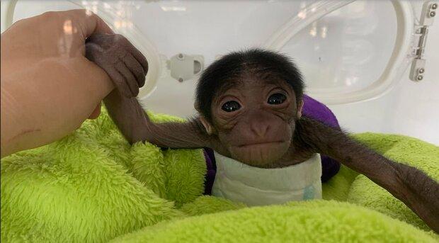 """""""Malý okouzlujíci tvor"""": novorozený gibbon si získala srdce všech pracovníků zoo"""