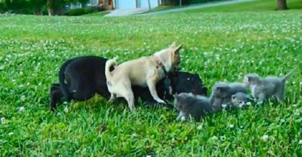 Malý čivava jménem Charlie zachránil koťata od velkého psa