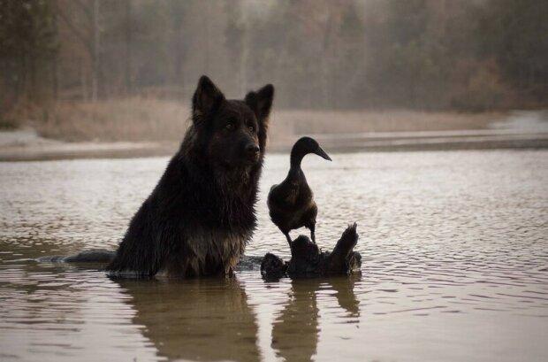 Francouzská žena ukazuje zvláštní pouto mezi psem a domácí kachnou