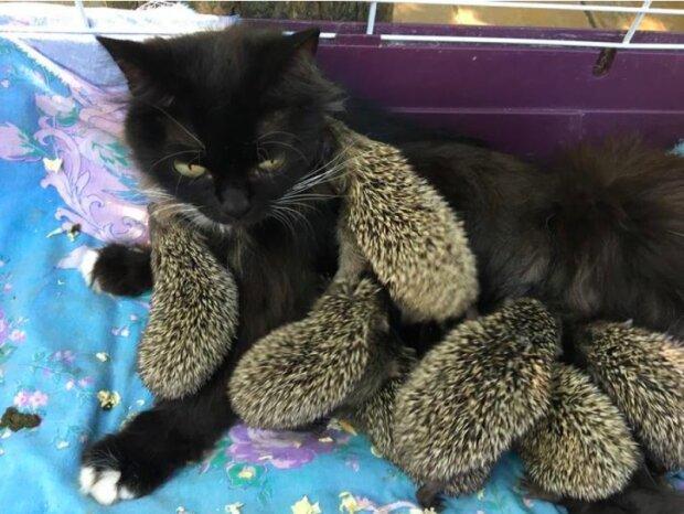 Osm osiřelých ježků našlo novou mámu