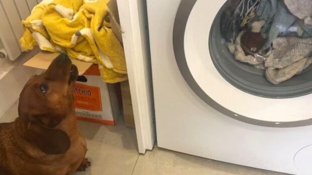 Jak jezevčík reagoval na skutečnost, že jeho oblíbená hračka byla praná v pračce