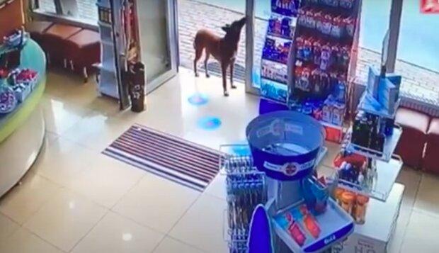 Toulavý pes klidně šel do lékárny a požádal farmaceutku o pomoc