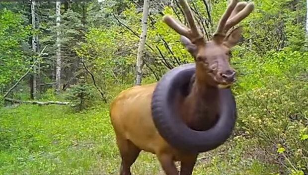 Z krku jelena sundali pneumatiku, kterou nosil 2 roky: co udělali odborníci