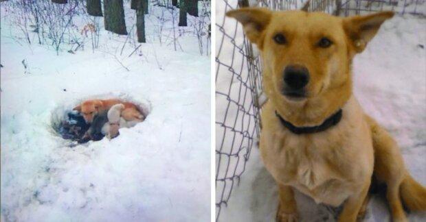 Fenka mrznula ve sněhu, ale chránila a zahřívala štěňata teplem svého těla