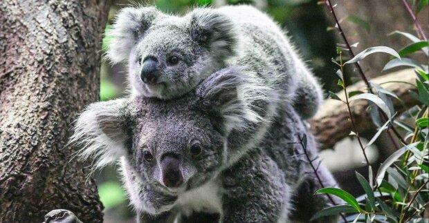 Vědci prozradili, proč koaly olizují kmeny stromů