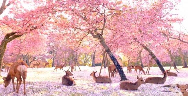 Sen jako živý: jeleni v japonském parku během květu sakury