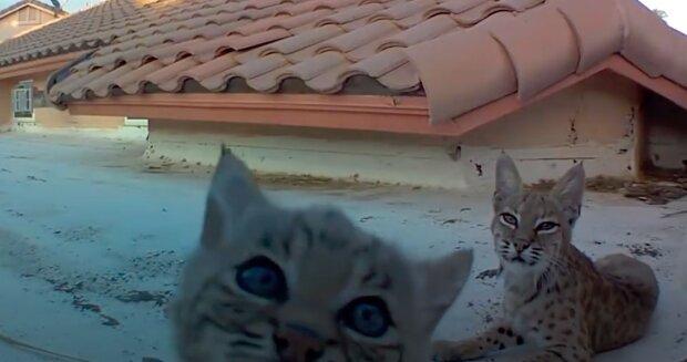 Rys každý rok přiváděla koťátka na stejnou střechu a majitel se rozhodl umístit videokameru