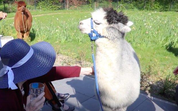 Alpaky přicházejí na návštěvu do důchodců, aby nebyli sami: podrobnosti se objevily v síti