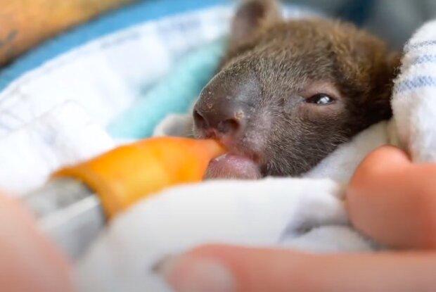 Jak lidé zachránili děťátko koaly, které bylo osiřelé kvůli odlesňování
