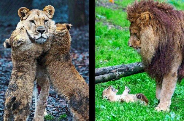 Někdy, když mají mámy zlobení svých dětí až nad hlavu, na pomoc přichází lví tátové