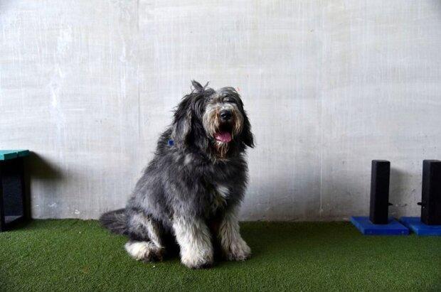 """""""Takový miláček"""": ze psa bylo stříháno téměř 2 kilogramy vlny. Vypadá teď k nepoznání"""
